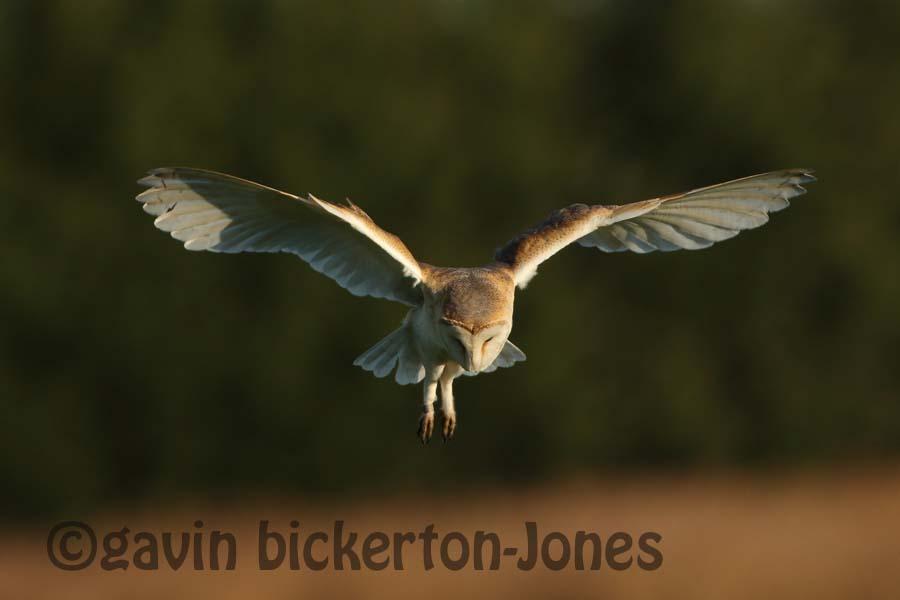 Image for: 3 Barn Owls on the marsh.