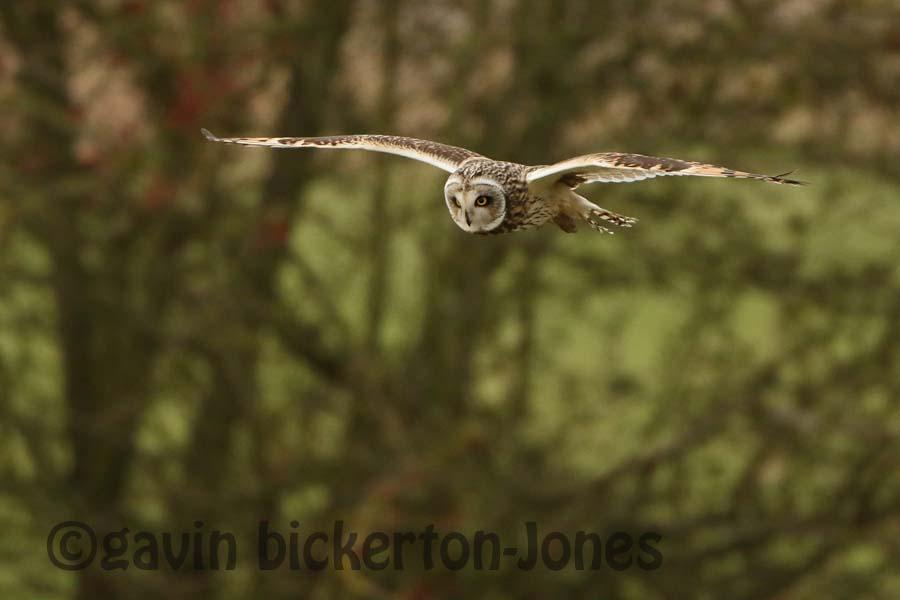 Image for: Short Eared Owls Return