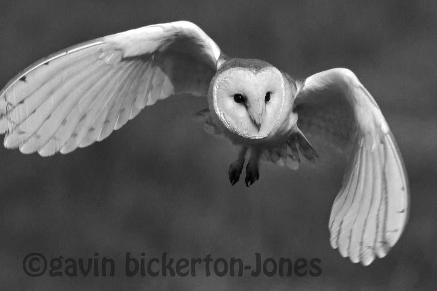 Black & White Owl.