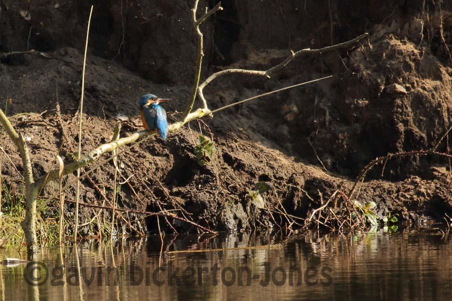 First Kingfisher Sighting