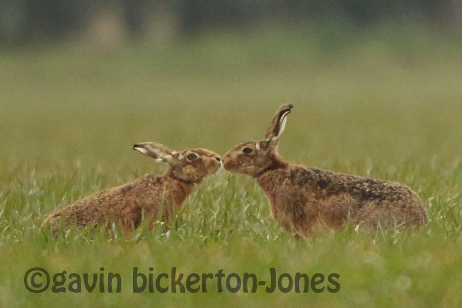 Mad March Hares getting frisky!