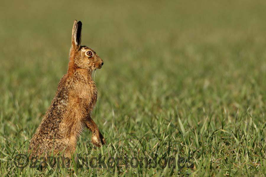 More Hares!