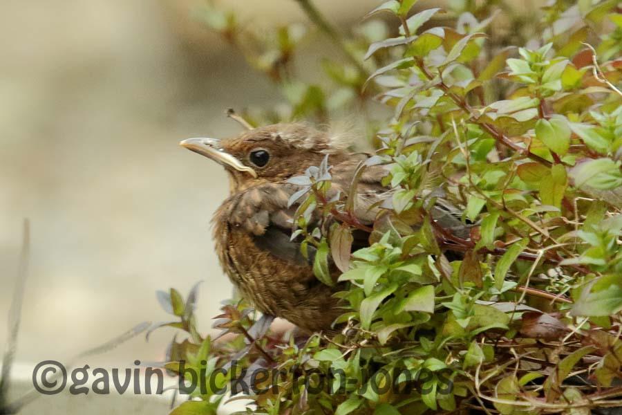 Blackbird fledgling.