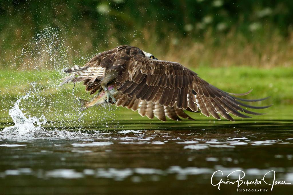 Ospreys in Scotland part 2!