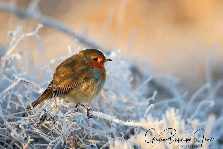 Robin in the frost.