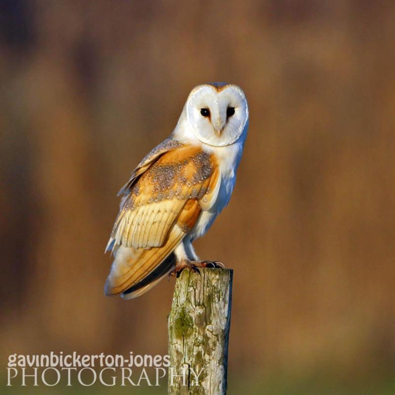 Barn Owl in the evening sun.