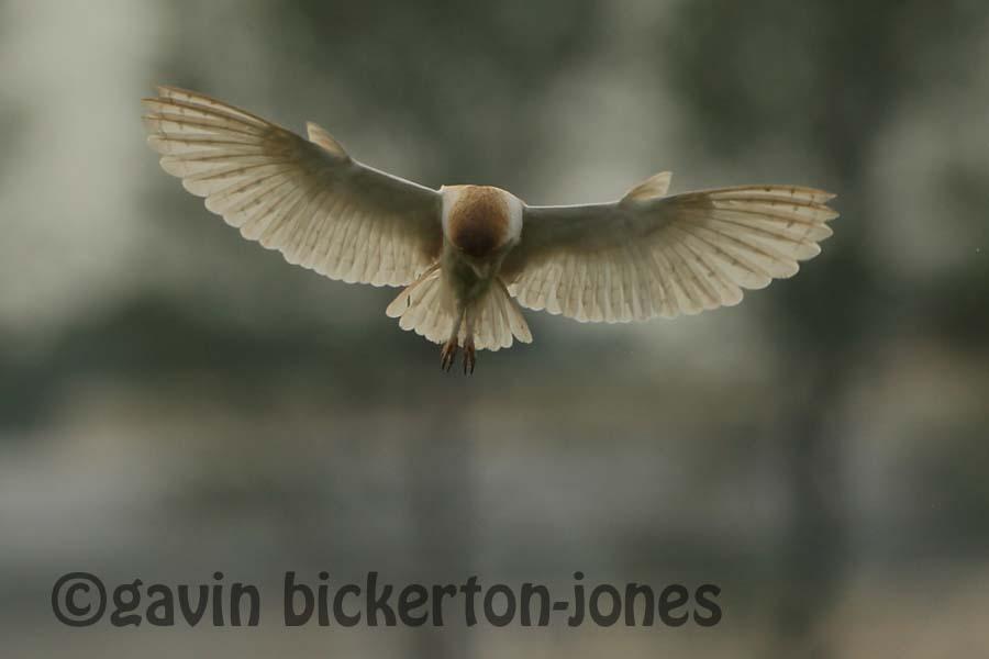 Barn Owls on the hunt.