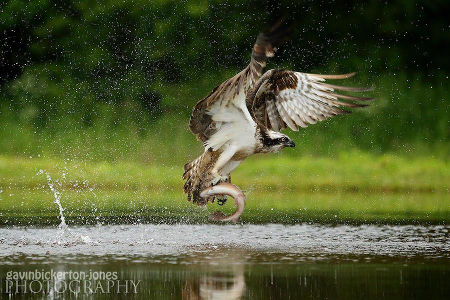 Osprey gets commended!