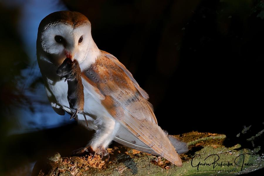 Barn Owl with vole.